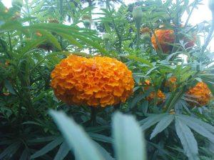 Bunga Gemitir (Bali), Marigold Flower