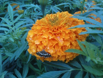 Bunga Gemitir